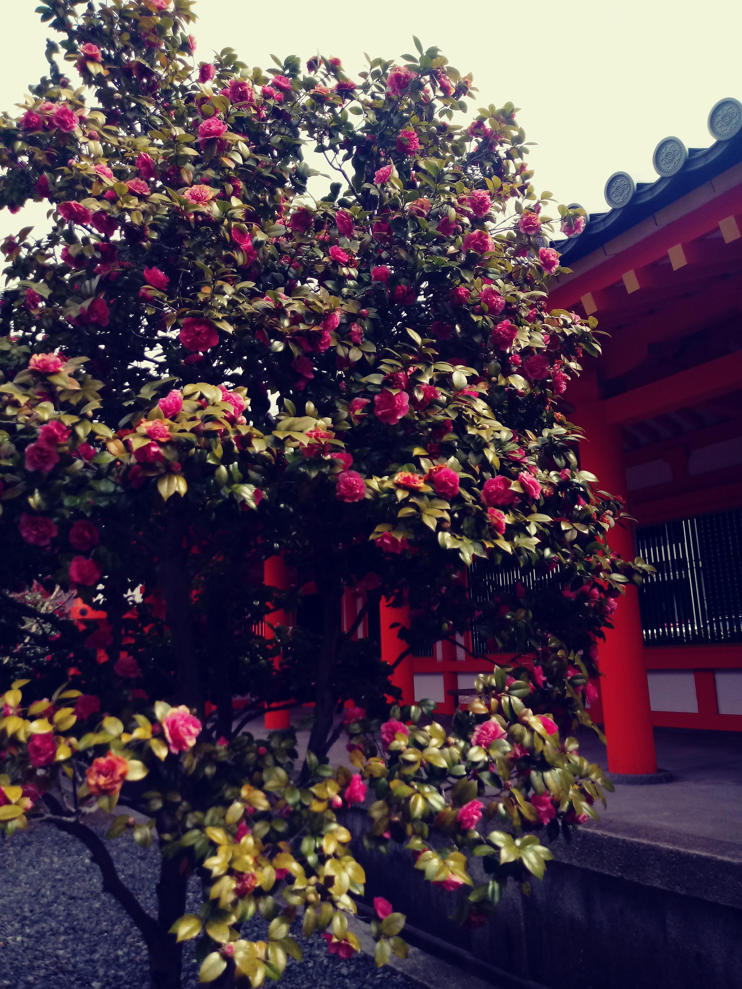 cherry blossoms in Sanjusangendo Temple complex